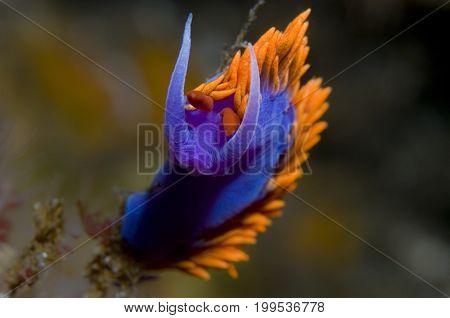 Flabellina iodinea (Spanish shawl) in the Pacific Ocean, CA