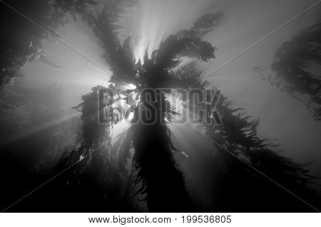 Sun shadowed by kelp forest off Anacapa in the Channel Islands, CA