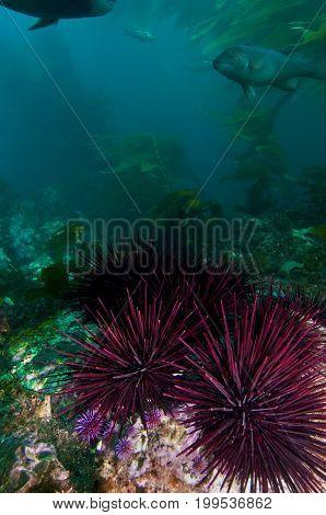 Undersea landscape with kelp and sea urchins near Anacapa Island, CA