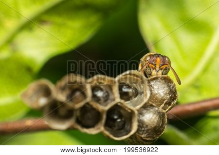 Macro Of Hymenoptera On The Nest In Nature
