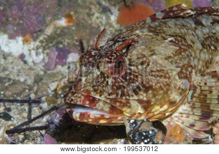 Rockfish along Flame Reef off Santa Cruz Island, CA
