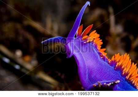 Flabellina iodinea (Spanish shawl) in the Pacific Ocean, CA