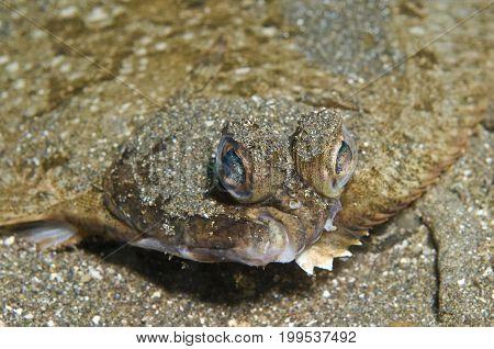 Sole a flat fish of family Soleidae off Santa Cruz, Channel Islands, CA