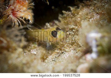 Blackeye Goby (Coryphopterus nicolsi) in Pacific Ocean, CA