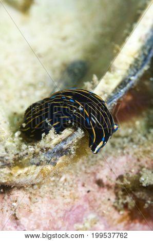 Navanax inermis off Santa Cruz Channel Islands in the Pacific Ocean, California