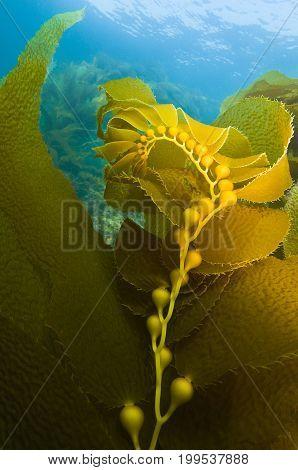 Kelp with bulbs underwater off Channel Islands in California