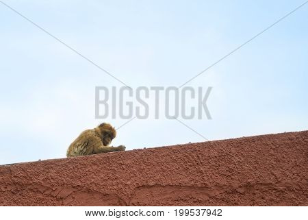 A Wild Barbery Monkey Of Gibraltare Nature Reserve Sitting Over The Red Wall With Cloudy Sky At The