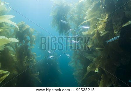 Fish in kelp reef off Catalina Island, CA