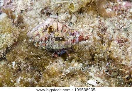 Hermit Crab in reef off Catalina island in the Pacific Ocean, CA