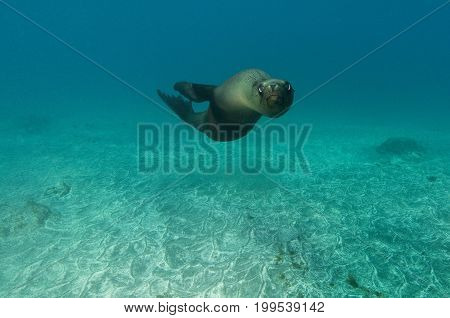 California sea lion (Zalophus californianus) in Pacific Ocean, California