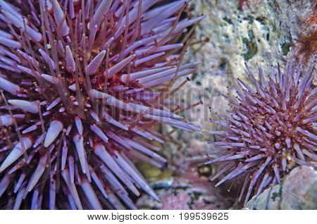 Purple Sea Urchin (Strongylocentrotus purpuratus) in Pacific Ocean