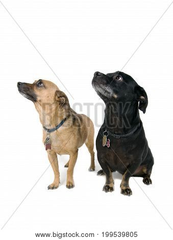 Pair of captivated dogs isolated against white background