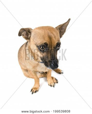 Little brown dog looking guilty isolated against white background