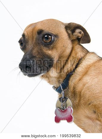 Close up of little dog against white background