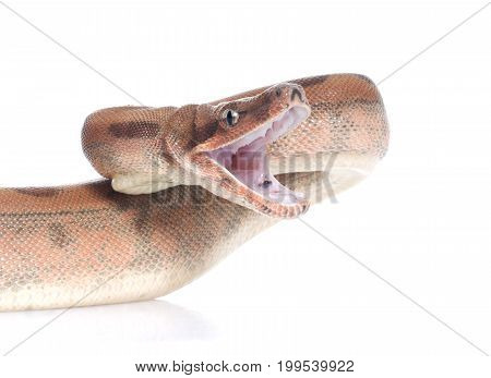 Hypo Colombian Red Tail Boa (Boa constrictor constrictor)