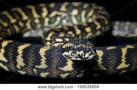 Jungle Carpet Python (Morelia spilota cheynei) against a black background