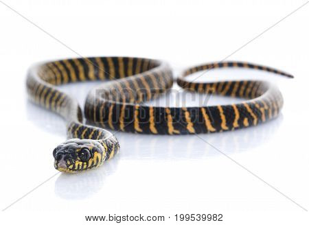 Jungle Carpet Snake against a white background