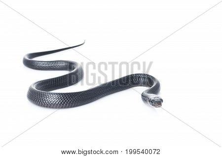 Indigo Snake (Juvi) against a white background
