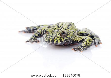 Fire Belly Toad (genus Bombina) against white background