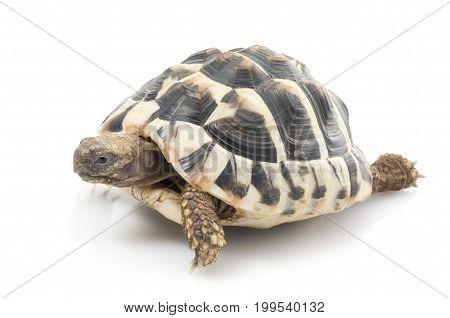 Herman's Tortoise (Testudo hermanni) against white background