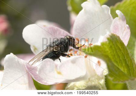 Green Bottle Flies Phaenicia species (Family: Calliphoridae Blow Flies)