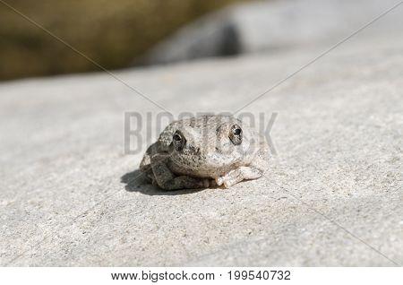 A wild grey Californian Treefrog by creek