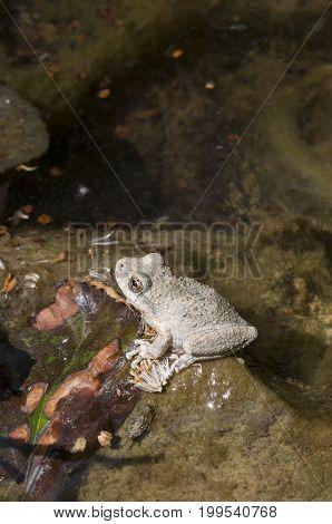 A wild grey Californian Treefrog on a stone in a creek