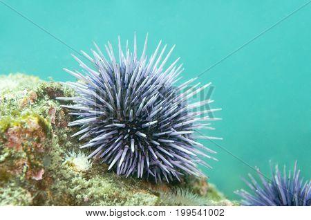 Purple sea urchin in Pacific Ocean, California