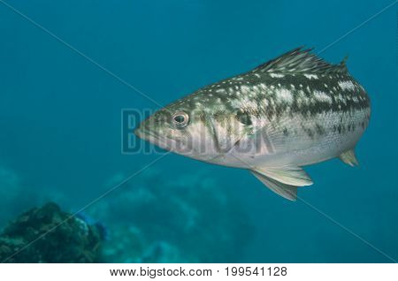 A blue fish swimming in Pacific Ocean, California
