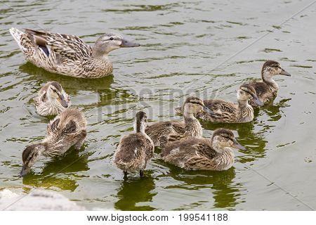 Female Mallard (Anas platyrhynchos) duck with chicks in Southern California