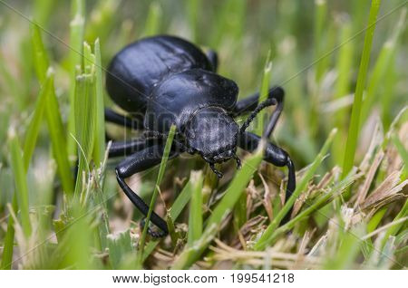 Pinacate beetle (aka Stink Beetle) on grass