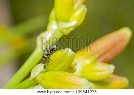 green bottle fly or greenbottle fly on plant