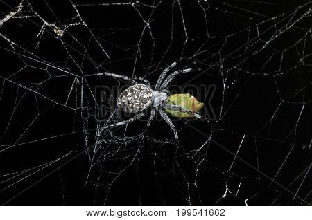 Spider with prey at night in New Mexico