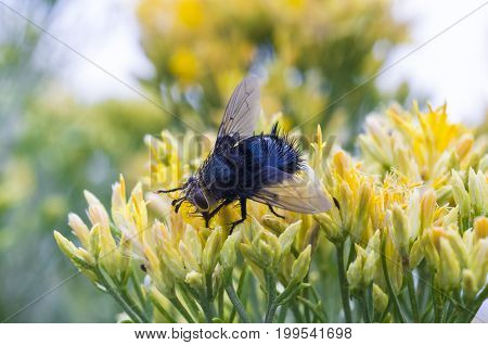 Tachinid fly on plant in Mesa Verde, CO