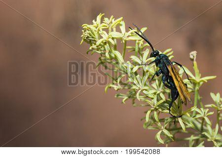 Tarantula Hawk wasp on South Kaibob Trail of Grand Canyon National Park AZ.