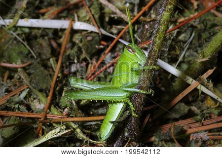 Full-body photo of green grasshopper in habitat