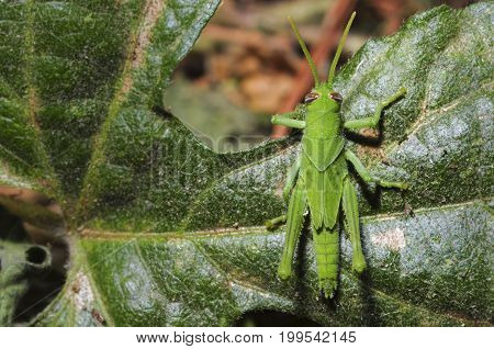 Full-body photo of grasshopper on a leaf