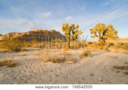 Red Cliffs Natural Preserve (Red Rock Canyon CA) featuring joshua trees (Yucca brevifolia)