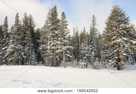 Winter Trees with snow in Mammoth Lakes, CA.