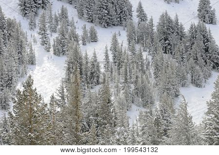 California tree and snow-covered mountainside in winter