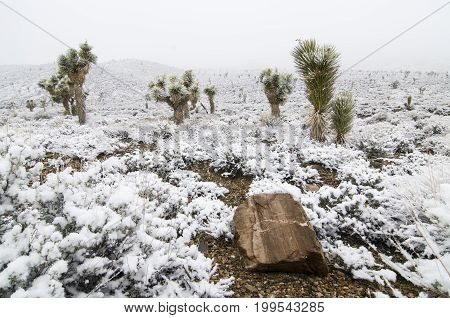 Snow-covered joshua trees in Death Valley National Park California