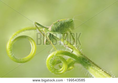 greater angle-wing katydid (Microcentrum rhombifolium) in late instar phase (juvenile)