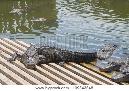 alligators crawling out of the water in Florida tourism attraction