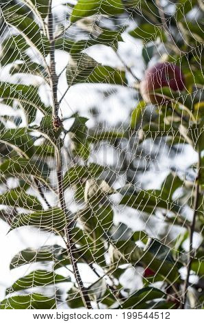 Spider hanging in center of web strung from trees with morning dew drops