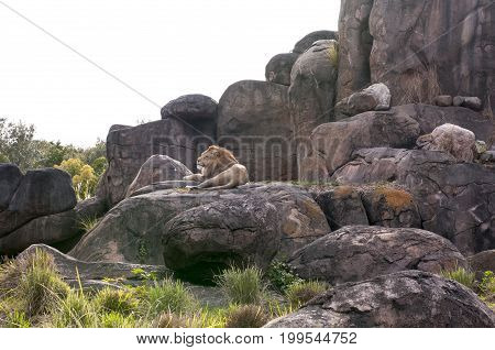 captive lion (Panthera leo) resting on rocks in zoo habitat