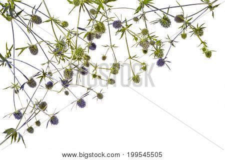 Frame with blue thistle on white background. Several blue thistles on a white background.