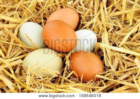 Free range hens eggs on straw background