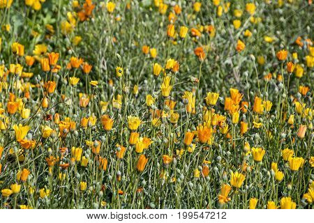 Close up of field of flowering colorful morange and yellow daisey plant background
