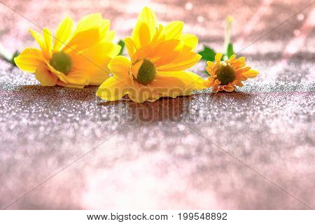 Close Up And Selective Focus On Yellow Flawer Of Beautiful Chrysanthemum With Sunlight Effect And Gl