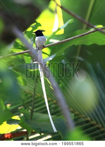 Asian Paradise Flycatcher Terpsiphone paradisi beautiful male in a jungle